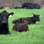 meadow-lane-cattle-300x225
